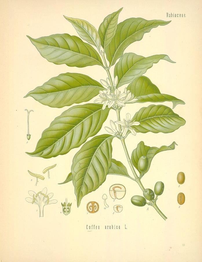 coffea arabica.jpg