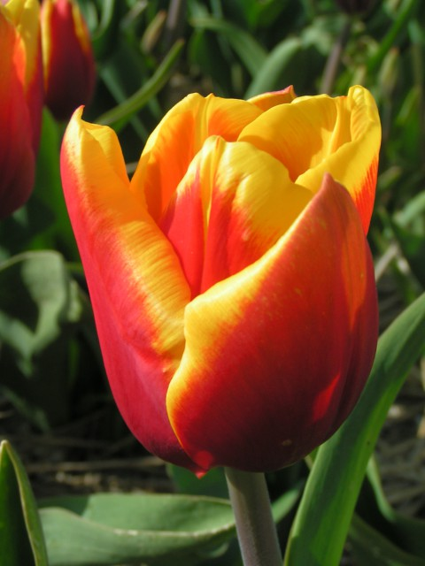 Tulipan Kees Nelis z gr.Triumph.jpg