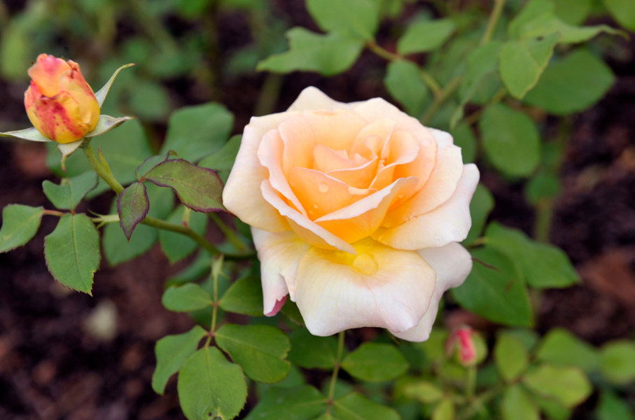 15_pierwsze kwitnące róże w ogrodzie różanym po rewitalizacji.jpg