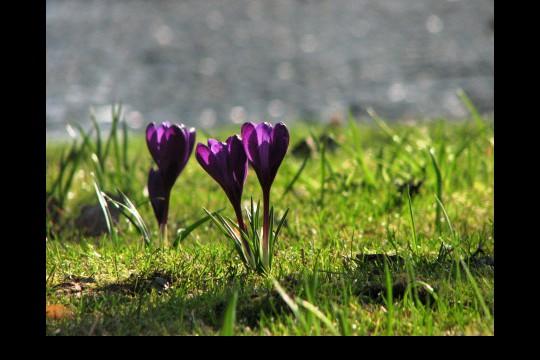 Wiosna w ogrodach wilanowskich, fot. J. Dobrzańska01.JPG