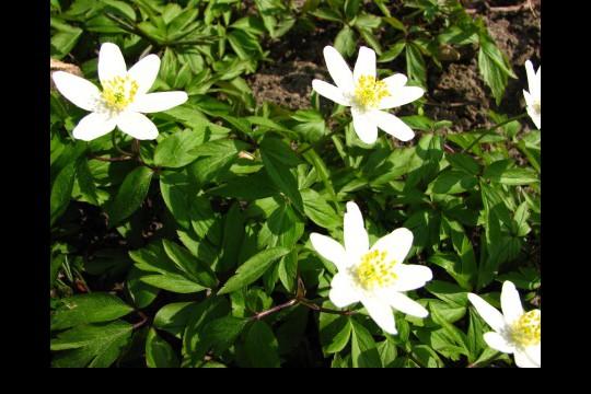 Wiosna w ogrodach wilanowskich, fot. J. Dobrzańska19.JPG