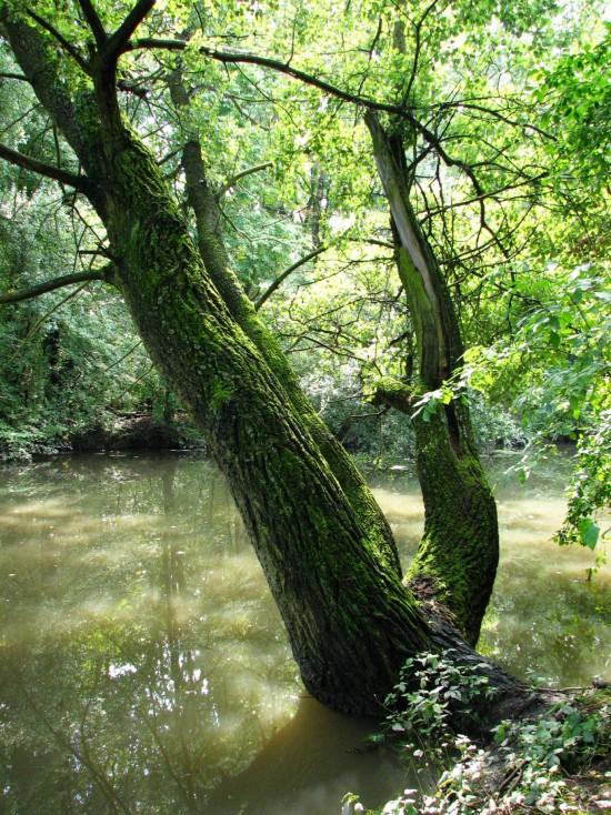 6.Drzewo nad kanalem Sobieskiego.JPG