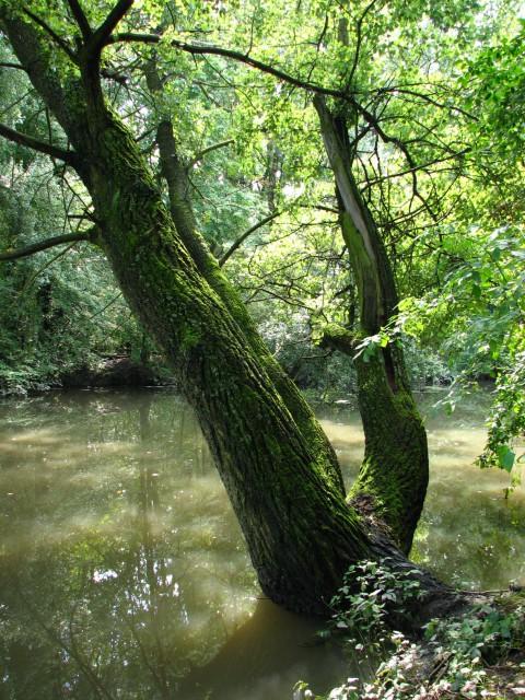 Morysin_Drzewo nad kanałem Sobieskiego. fot. Julia Dobrzańska.JPG