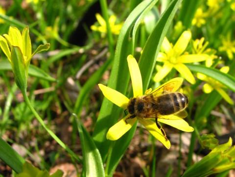 pszczoła. fot. J. Dobrzańska.JPG