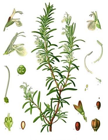 44_rosmarinus officinalis rozmaryn lekarski.jpg