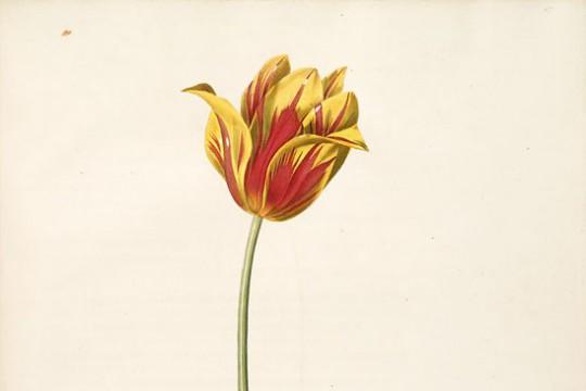 Historia uprawy tulipanów w Europie