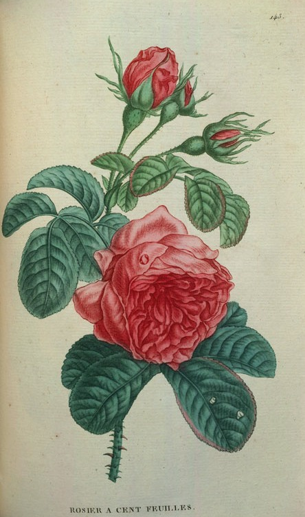 44_rosa centifolia róża stulistna.jpg
