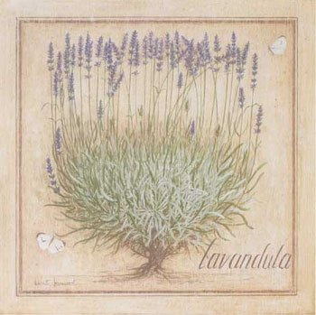 44_lavandula angustifolia lavenda wąskolistna.jpg