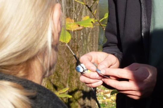 EOG_Pomiar długości skrzydła modraszki. fot. Julia Dobrzańska.JPG