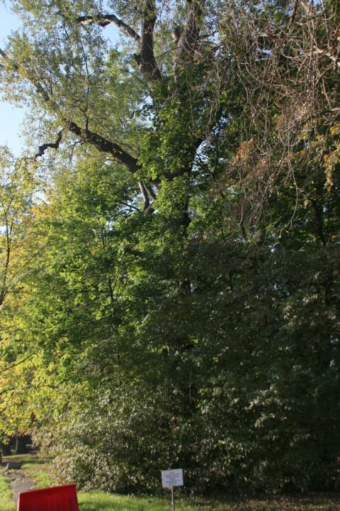 EOG_Drzewa pomnikowe1, Topola biała, Populus alba, fot. fram.com.jpg