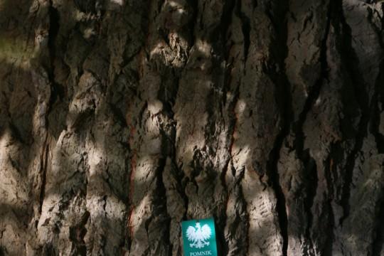 EOG_Drzewa pomnikowe1a, Topola biała, Populus alba, fot. fram.com.jpg