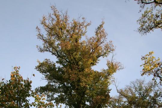 EOG_Drzewa pomnikowe3, Wiąz polny, Ulmus minor, fot. fram.com.jpg