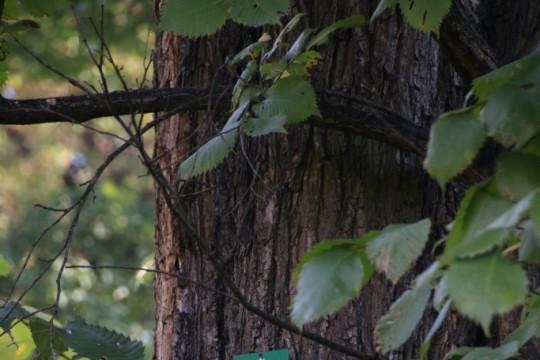 EOG_Drzewa pomnikowe3a, Wiąz polny, Ulmus minor, fot. fram.com.jpg