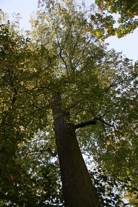 EOG_Drzewa pomnikowe4, Lipa drobnolistna, Tilia cordata, fot. fram.com.jpg
