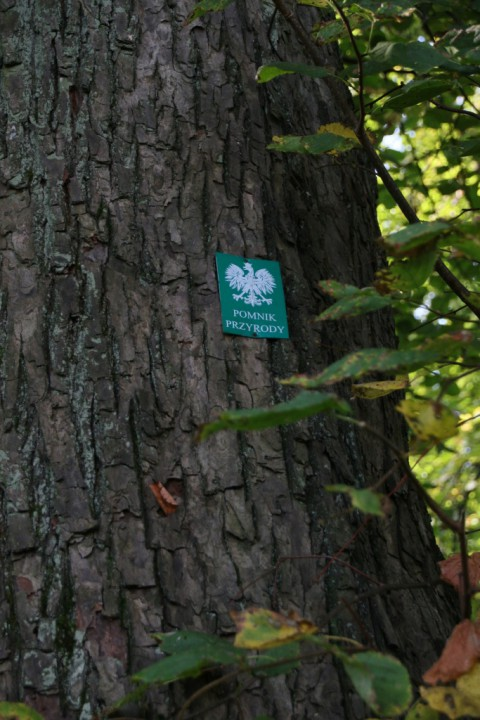 EOG_Drzewa pomnikowe4a, Lipa drobnolistna, Tilia cordata, fot. fram.com.jpg