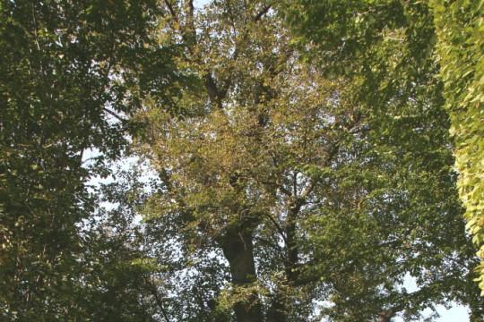 EOG_Drzewa pomnikowe5, Lipa drobnolistna, Tilia cordata, fot. fram.com.jpg