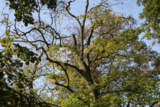 EOG_Drzewa pomnikowe6, Grab pospolity, Carpinus betulus, fot. fram.com.jpg