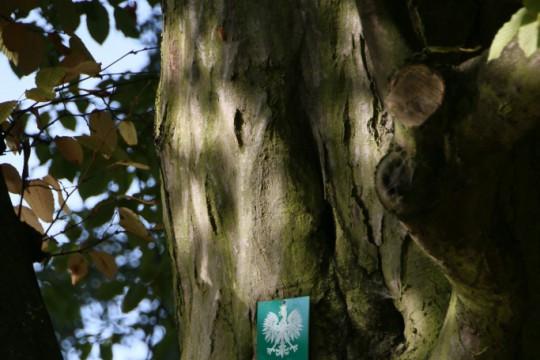 EOG_Drzewa pomnikowe6a, Grab pospolity, Carpinus betulus, fot. fram.com.jpg