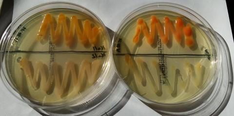 EOG_przykładowa hodowla bakterii o kolorystyce  typowej dla szczepów bytujących w aerozolu powietrza.jpg
