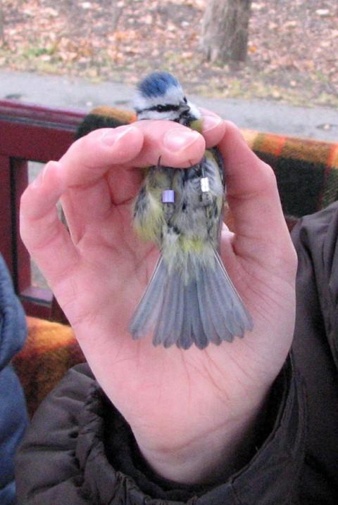 Modraszka zaobrączkowana na fioletowo, 2011, fot. J.Dobrzańska.JPG