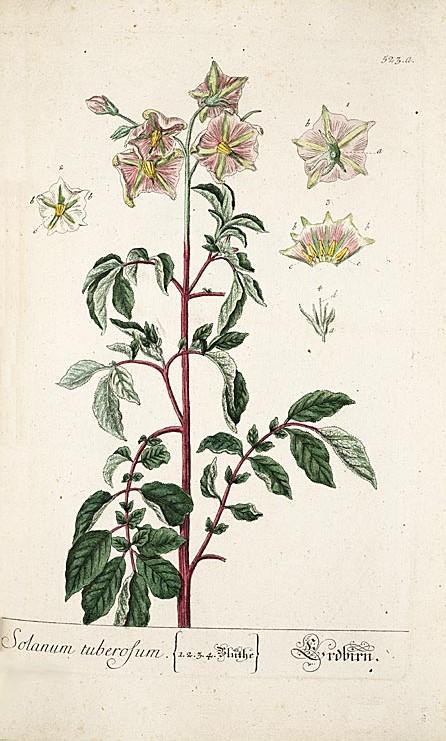 44_solanum tuberosum ziemniak.jpg