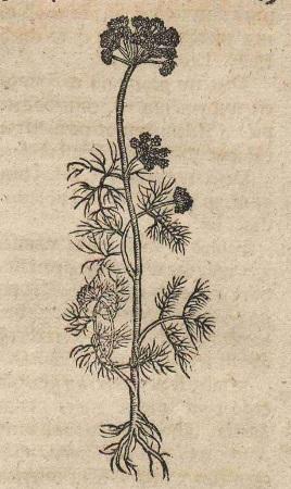 Koper_Herbarz polski, to iest o przyrodzeniu zioł y drzew rozmaitych [...] księgi dwoie doctora Marcina Urzędowa, Kraków 1595; Biblioteka Narodowa