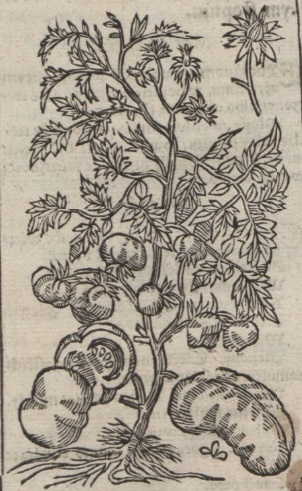 pomum amoris; pomidor; syreński