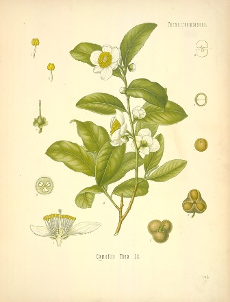 44_camelia sinensis 4.jpg