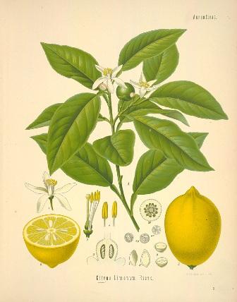 44_citrus limon 2.jpg