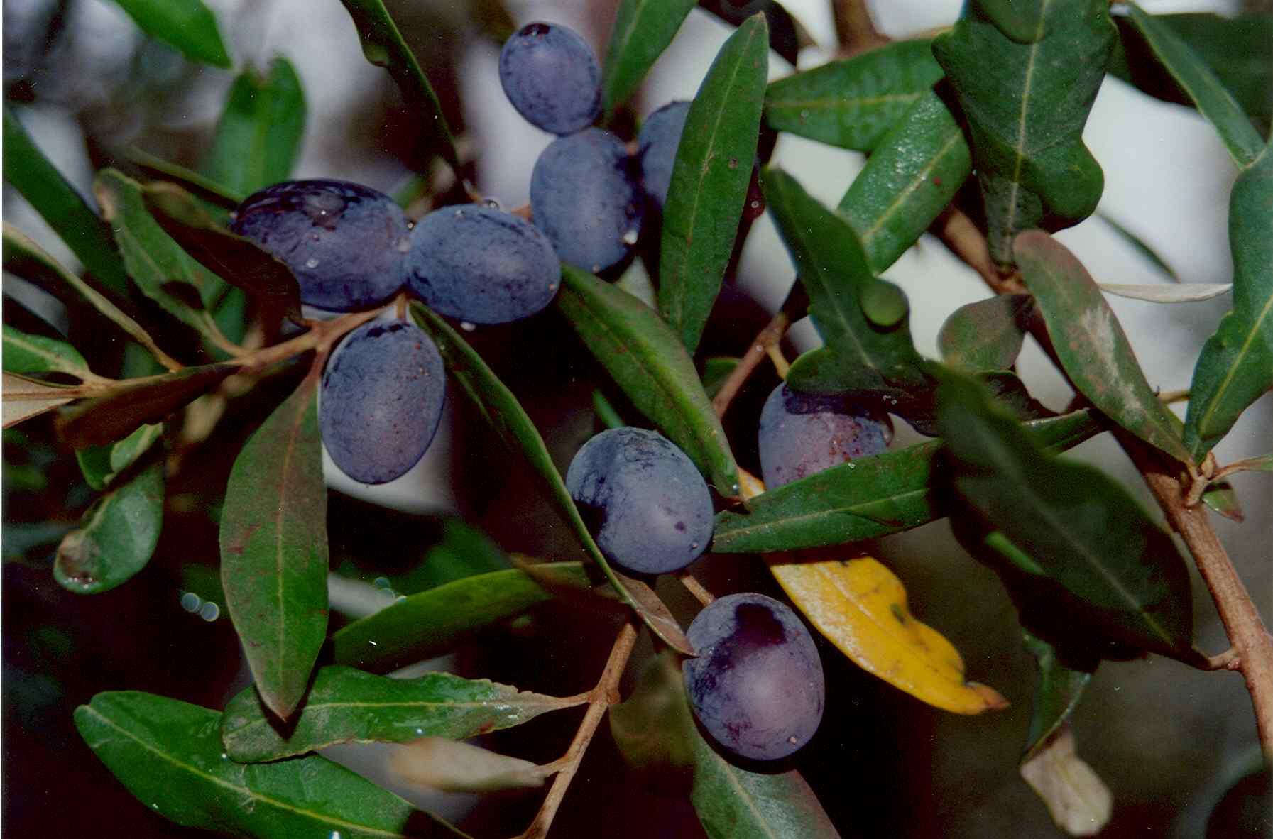 44_owocująca oliwka.jpg