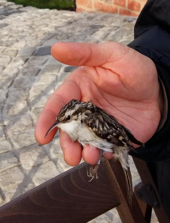 Ptaki_Pełzacz ogrodowy. Fot. J. Dobrzańska.jpg