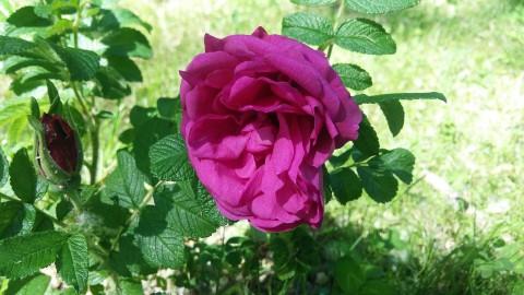 Rosa rugosa 'Red Foxi', fot. N. Kokoszka.jpg