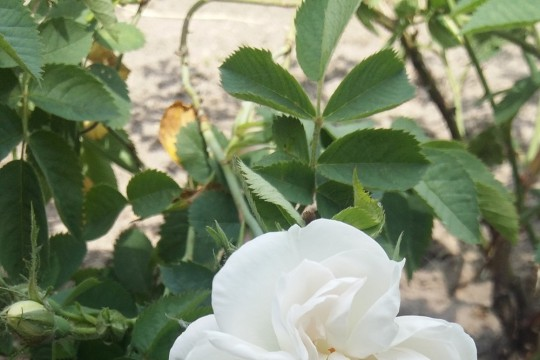 Rosa alba Maxima 2016.jpg