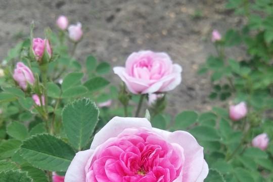 Rosa centifolia Rose de Meaux 2016.jpg