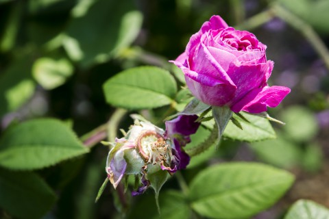 Róże historyczne_Róża stulistna2_fot.M. Klimowicz.jpg