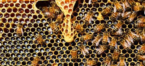 pszczoły_fot_Pixabay_b.jpg
