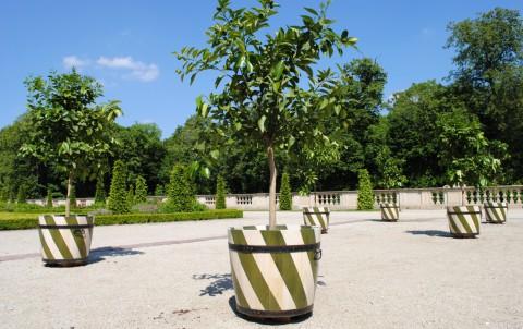 Zadanie dla przyrodnika6. Drzewka cytrusowe z wilanowskiej kolekcji egzotycznych roślin. Fot. Julia Dobrzańsk.JPG