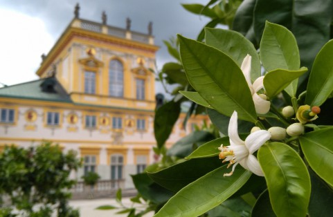 Kwiaty pomarańczy w ogrodach pałacu w Wilanowie, autor Ł. Przybylak 2018.jpg