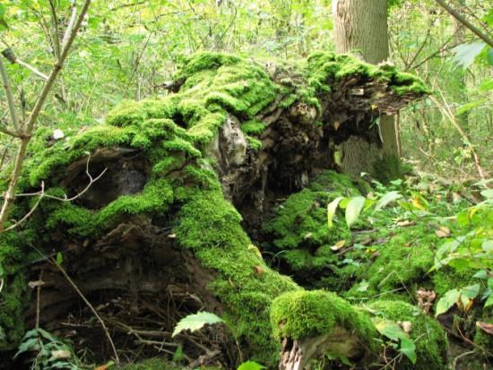 Martwe drzewo w rezerwacie Morysin, fot. J. Dobrzańska.jpg