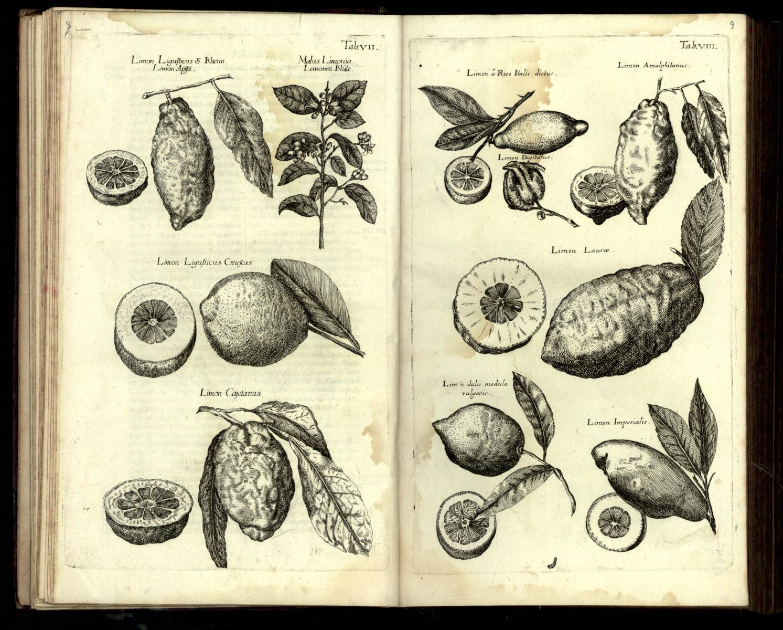 Jan Jonston, Dendrographias sive historiae naturalis de arboribus…, Tab. 7 i 8, Frankfurt nad Menem, 1662 r.; Biblioteka Narodowa w Warszawie, sygn. SD XVII.4.3382.jpg
