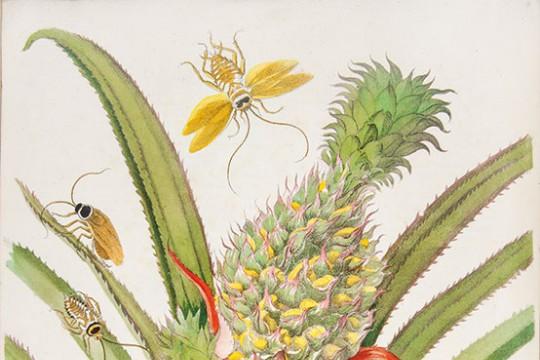 Joseph Mulder wg Marii Sibylli Merian, ananas jadalny oraz karaczany: australijski i prusak