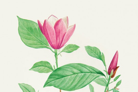P.F. Legrand wg Pierre'a-Josepha Redoutégo, magnolia purpurowa