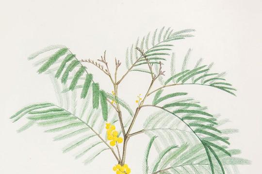 Sellier wg Pierre'a-Josepha Redoutégo, akacja srebrzysta (mimoza)