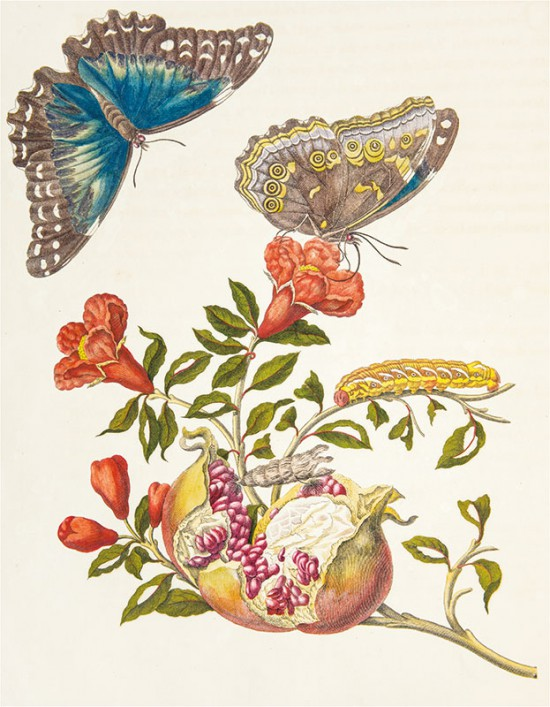Joseph Mulder wg Marii Sibylli Merian, kwitnąca gałąź granatu właściwego z motylami Morpho Menelaus z rodziny rusałkowatych oraz gąsienica i poczwarka ćmy Eumorpha fasciatus