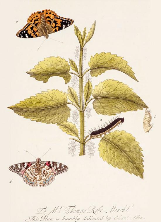 Zadanie dla botanika. Pokrzywa zwyczajna oraz motyl rusałka osetnik. H. Terafson wg Eleazara Albina.jpg