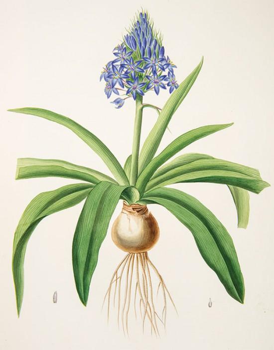 Zadanie dla botanika. Cebulica peruwiańska, Johann Simon Kerner.jpg