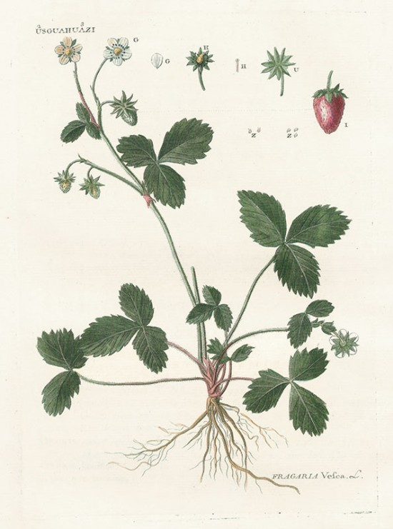 Zadanie dla botanika. Poziomka pospolita, Michel Poisson.jpg