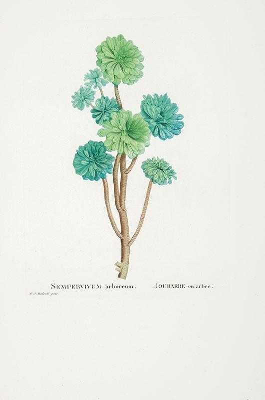 Zadanie dla botanika. Eonium drzewiaste, Pierre-Joseph Redouté.jpg