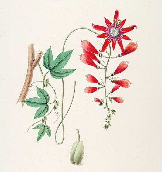 Zadanie dla botanika. Męczennica groniasta, Johann Simon Kerner.jpg