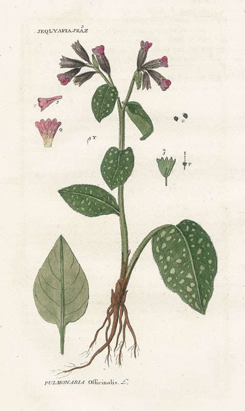 Zadanie dla botanika. Miodunka plamista, Michel Poisson.jpg